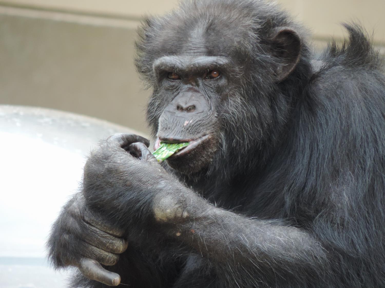 チンパンジー 漢字
