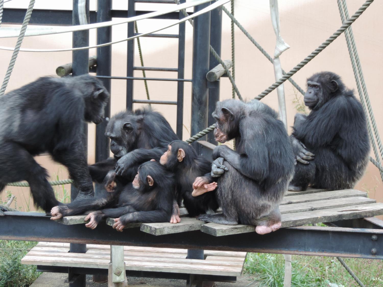 狂暴 チンパンジー