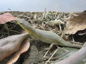 飼育員のカナヘビ