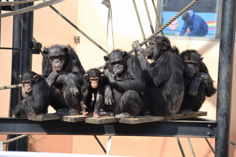 チンパンジーの群れ
